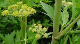 Лекарственная трава любисток: лечебные свойства и применение