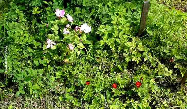Полезные сорняки в огороде: фото и название