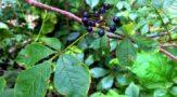 Элеутерококк колючий или сибирский женьшень - лечебное растение