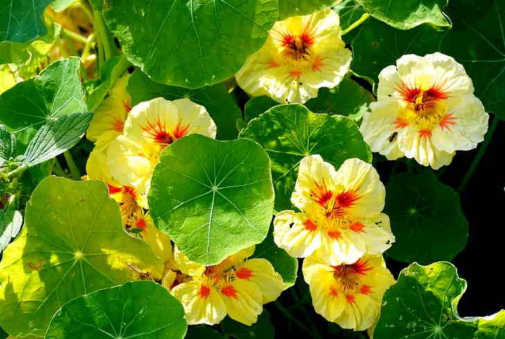 Ботаническое описание цветка настурции