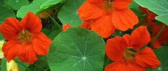 Настурция цветок лечебные свойства