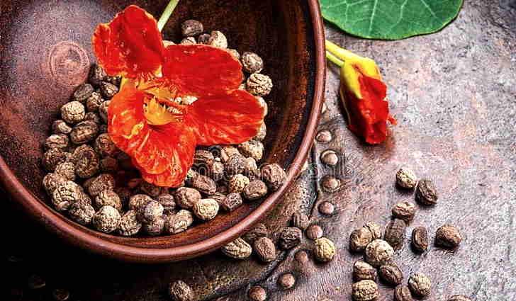 Цветок настурция лечебные свойства и противопоказания